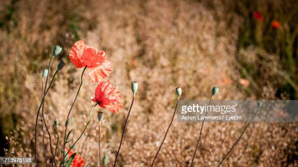 close-up of red poppy flowers growing in field - achim lammerts fotografías e imágenes de stock