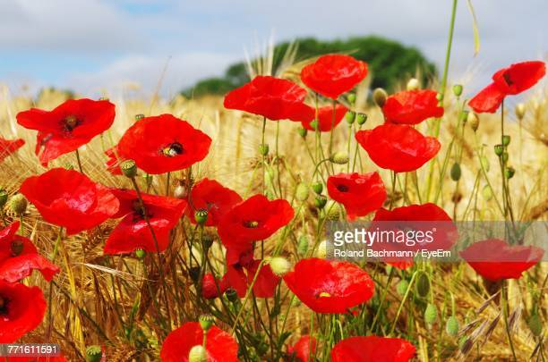close-up of red poppy flowers growing in field - coquelicot photos et images de collection