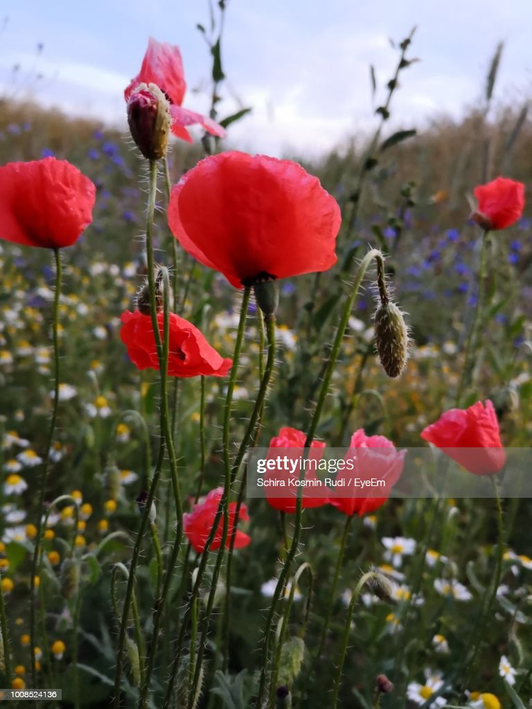 Closeup Of Red Poppy Flowers Growing On Field Stock Photo Getty Images