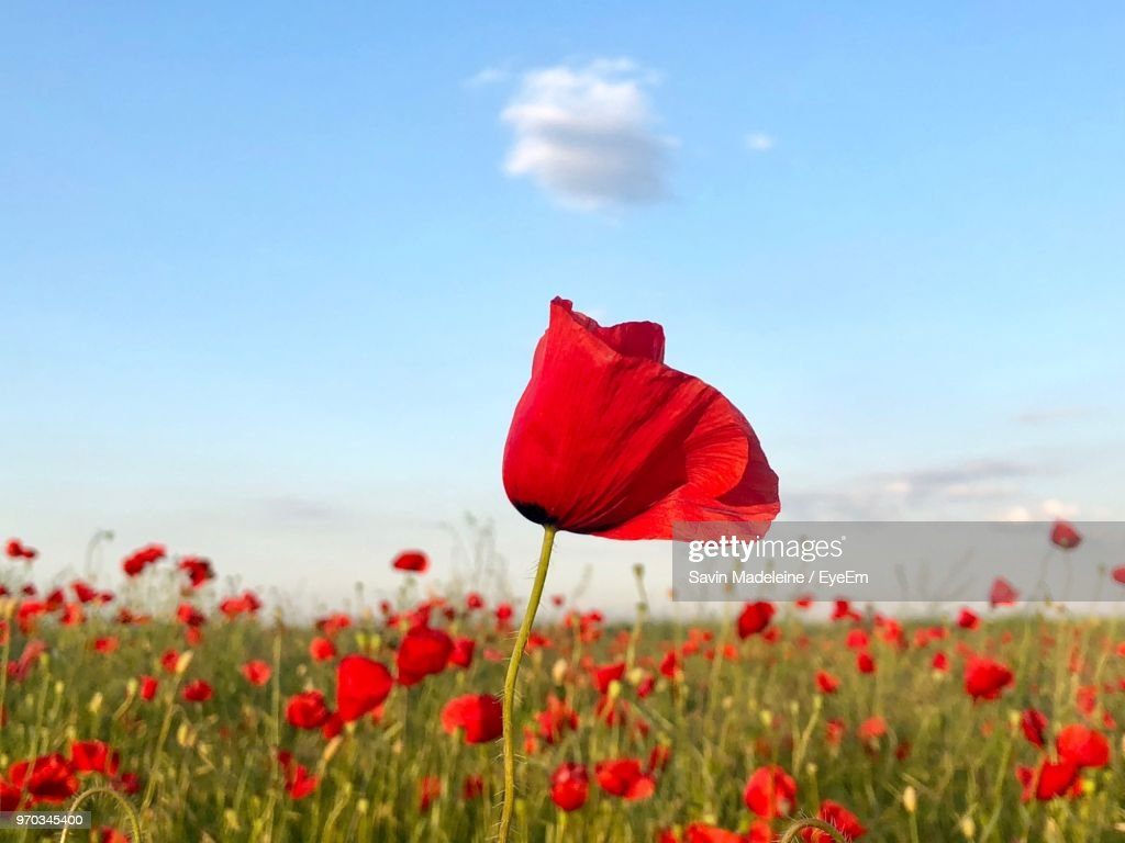Closeup Of Red Poppy Flowers In Field Stock Photo Getty Images