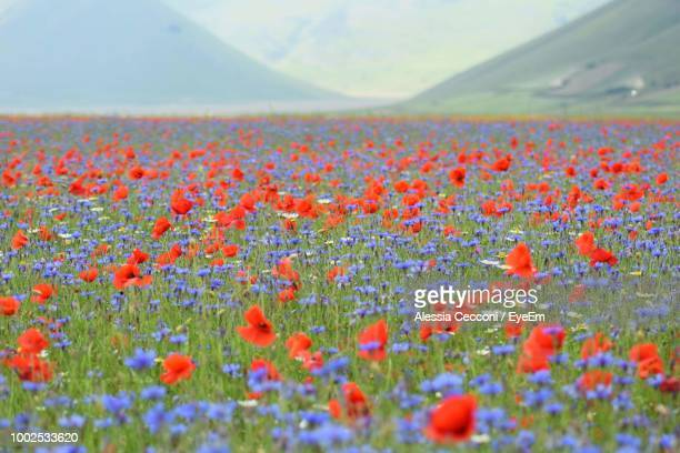 close-up of red poppy flowers on field - castelluccio stock photos and pictures