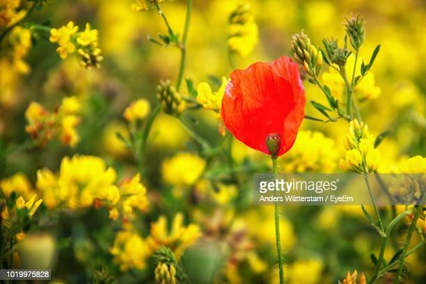 close-up of red poppy flowers on field - gotland bildbanksfoton och bilder