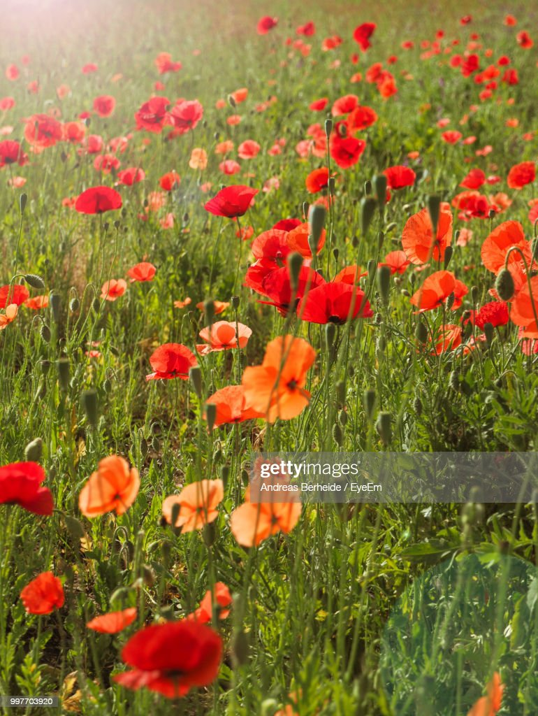 Closeup Of Red Poppy Flowers On Field Stock Photo Getty Images
