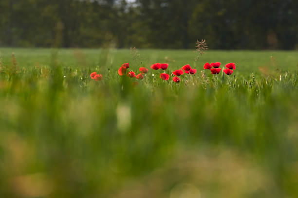 Close-up of red poppy flowers on field,Padova PD,Italy