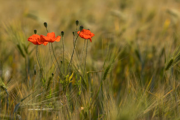 Close-up of red poppy flowers on field,Rheine,Germany
