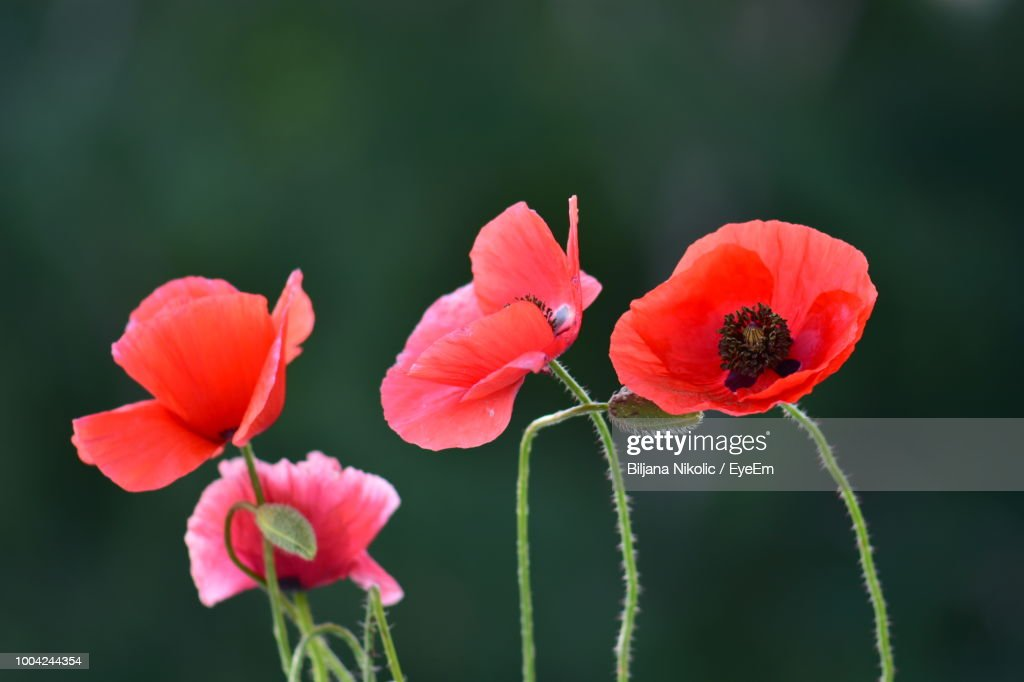 Closeup Of Red Poppy Flowers Stock Photo Getty Images