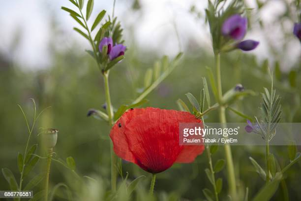 close-up of red poppy growing on plant - paulien tabak foto e immagini stock