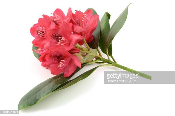 Close-Up Of Red Rhododendrons Over White Background