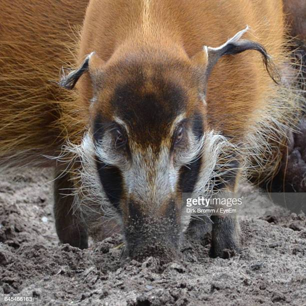 close-up of red river hog - wild hog stock photos and pictures