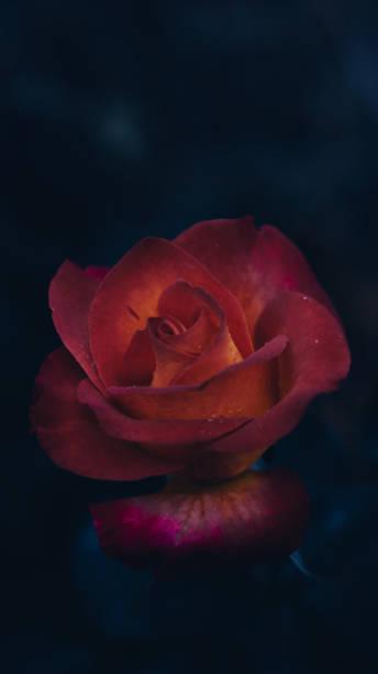 Close-up of red rose against black background,Frumusica,Romania