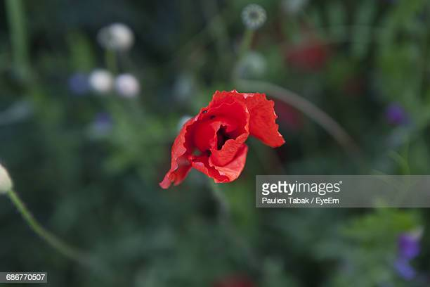 close-up of red rose blooming outdoors - paulien tabak foto e immagini stock