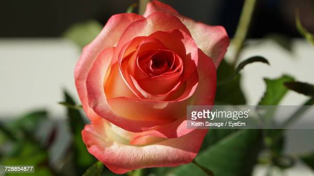 close-up of red rose blooming outdoors - keith savage stock-fotos und bilder