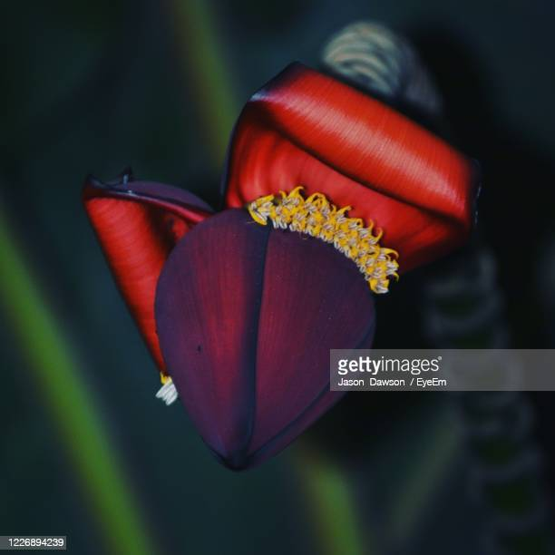 close-up of red rose flower - truro cornwall stock pictures, royalty-free photos & images