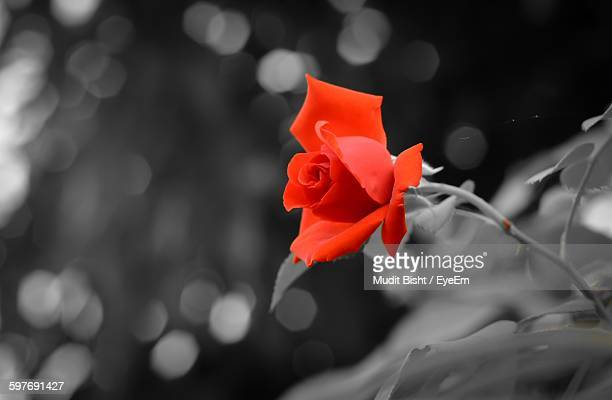 close-up of red rose growing on plant at field - single rose stock photos and pictures
