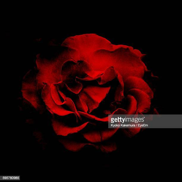 close-up of red rose over black background - red roses stock pictures, royalty-free photos & images