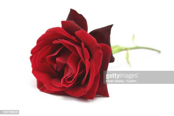 close-up of red rose over white background - red roses stock pictures, royalty-free photos & images