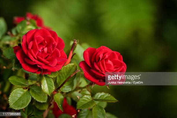 close-up of red rose - heinovirta stock photos and pictures