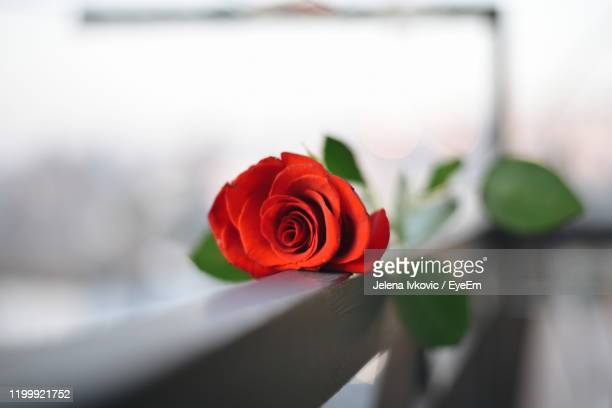 close-up of red rose - jelena ivkovic stock pictures, royalty-free photos & images