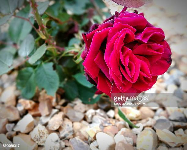 close-up of red rose - port talbot stock pictures, royalty-free photos & images