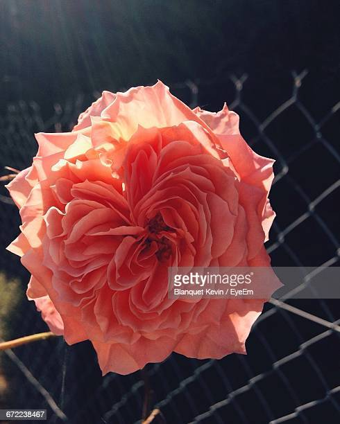 close-up of red rose - rosaceae stock photos and pictures