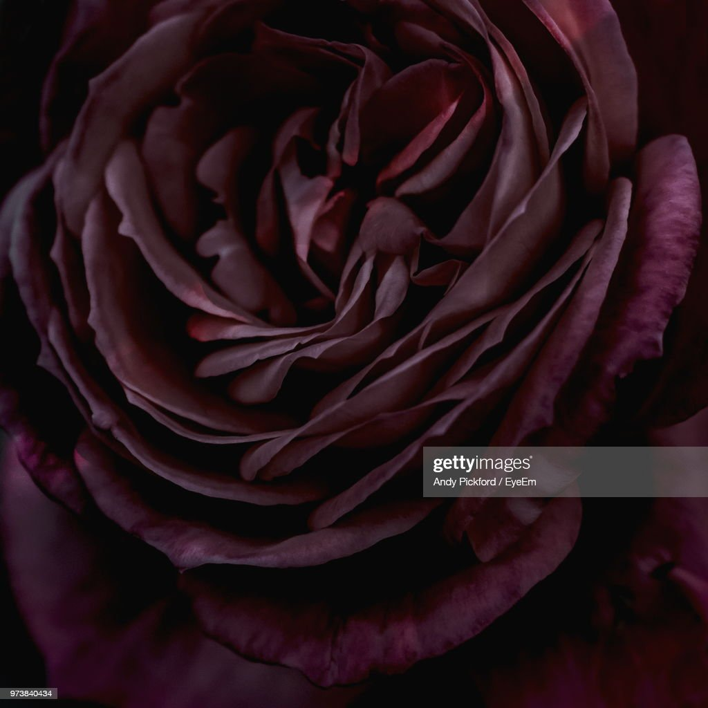 Close-Up Of Red Rose : Stock Photo