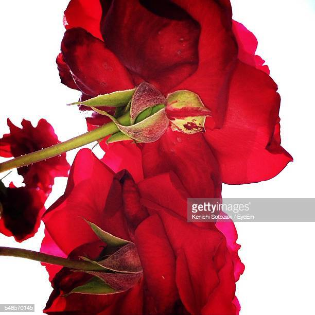 Close-Up Of Red Roses Blooming Against White Background