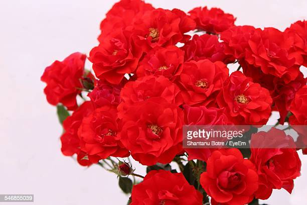 Close-Up Of Red Roses Over White Background