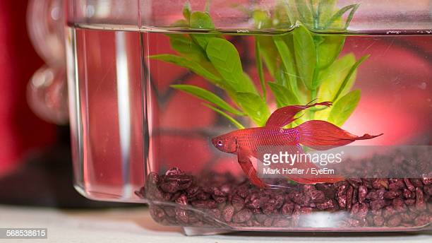 Close-Up Of Red Siamese Fighting Fish In Fish Tank At Home