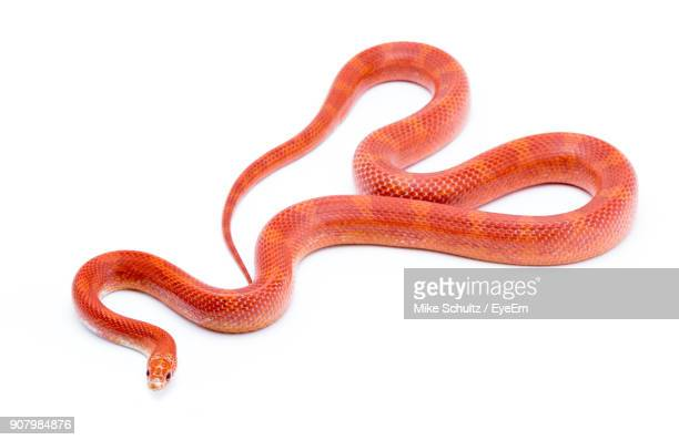 Close-Up Of Red Snake Against White Background