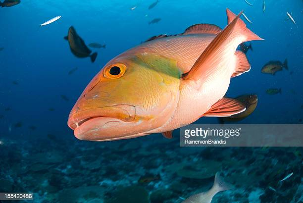 closeup of red snapper