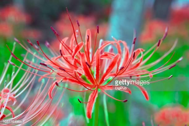 close-up of red spider lily - higanbana - 九月 ストックフォトと画像