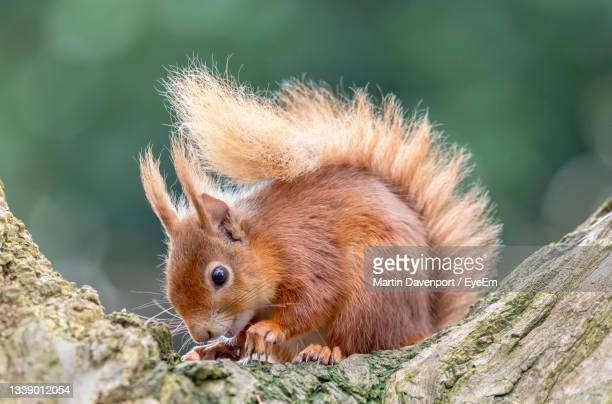 close-up of red squirrel on tree trunk - プール湾 ストックフォトと画像