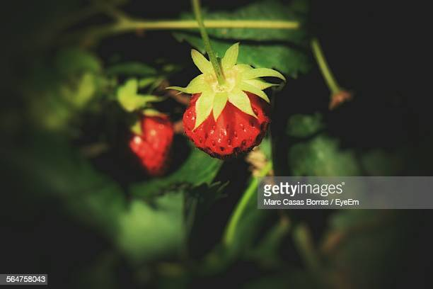 Close-Up Of Red Strawberries In Plant