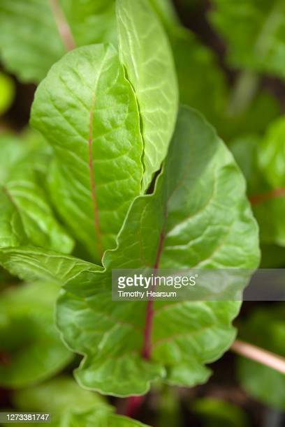 close-up of red swiss chard leaves in a backyard garden - timothy hearsum - fotografias e filmes do acervo