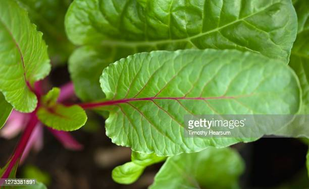 close-up of red swiss chard leaves in a backyard garden - timothy hearsum stock pictures, royalty-free photos & images