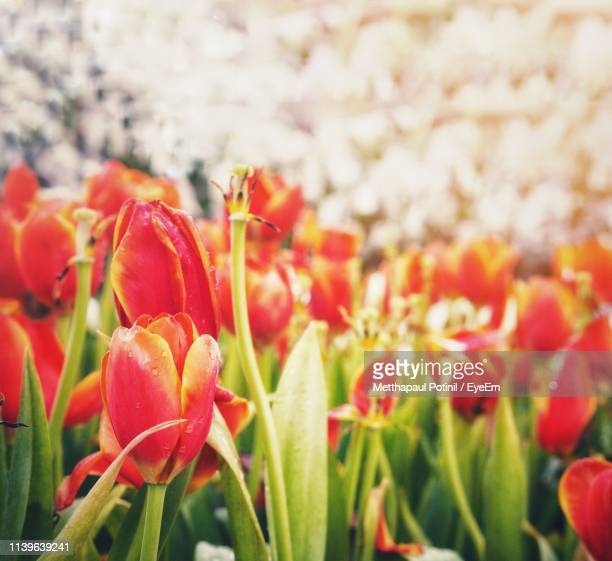 close-up of red tulip flowers - metthapaul stock photos and pictures