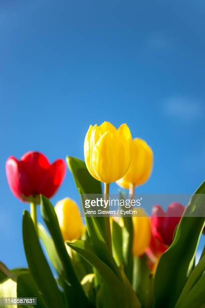 close-up of red tulips against blue sky - jens siewert stock-fotos und bilder