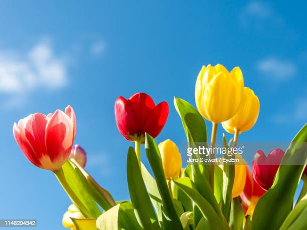 close-up of red tulips against sky - jens siewert stock-fotos und bilder