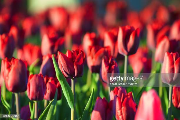 Close-Up Of Red Tulips Blooming Outdoors