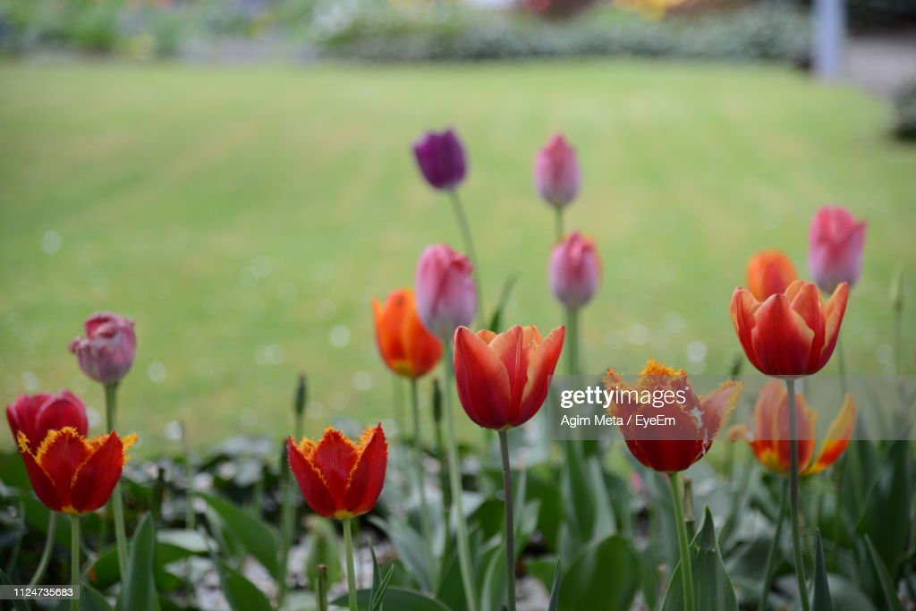 Close-Up Of Red Tulips In Field : Stock-Foto