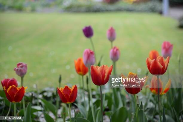 close-up of red tulips in field - agim meta stock-fotos und bilder