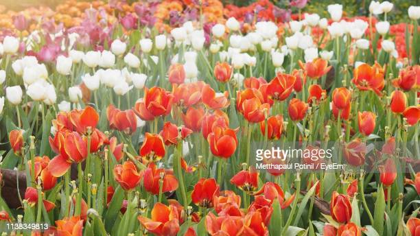 close-up of red tulips in field - metthapaul stock photos and pictures