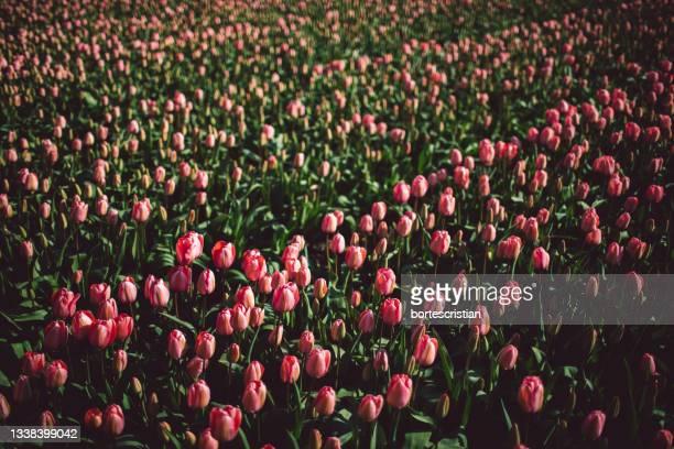 close-up of red tulips in field - bortes foto e immagini stock
