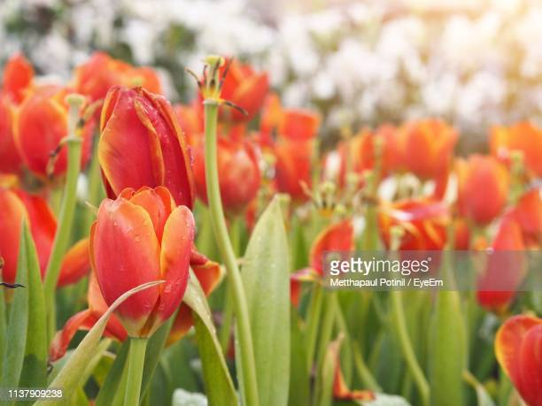 close-up of red tulips on field - metthapaul stock photos and pictures
