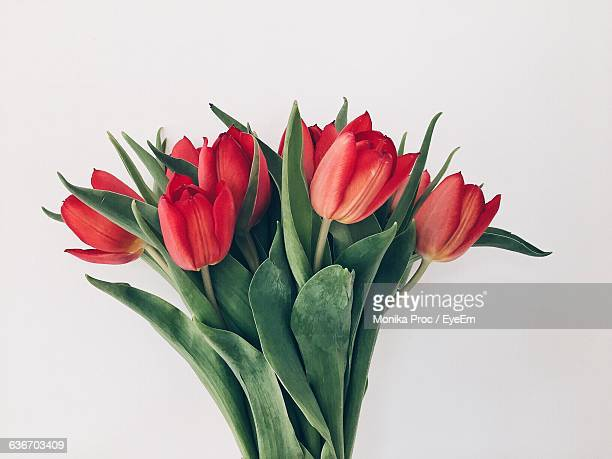 close-up of red tulips on white background - tulipe photos et images de collection