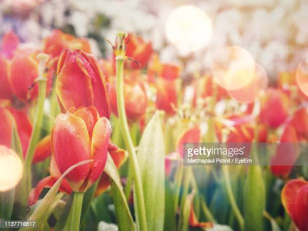 close-up of red tulips - metthapaul stock photos and pictures