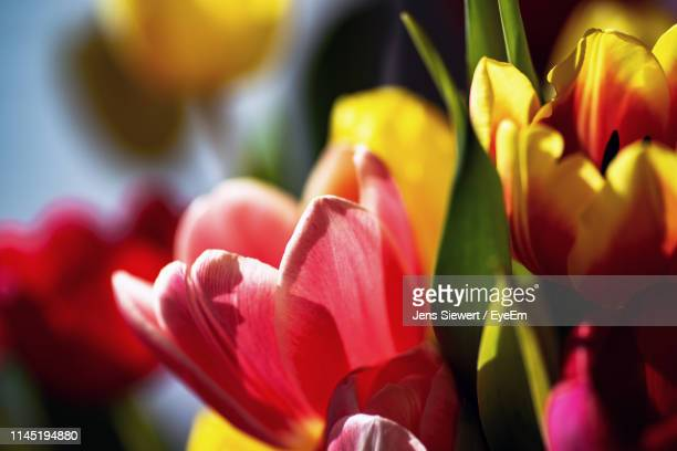 close-up of red tulips - jens siewert stock-fotos und bilder