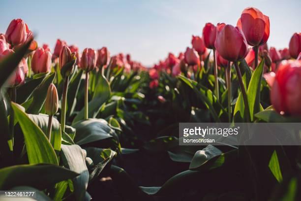 close-up of red tulips - bortes stockfoto's en -beelden