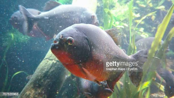Close-Up Of Red-Bellied Piranhas Swimming In Lake