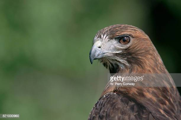 close-up of red-tailed hawk - red tailed hawk stock photos and pictures